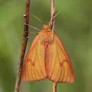 La Bordure ensanglantée (Diacrisia sannio) femelle