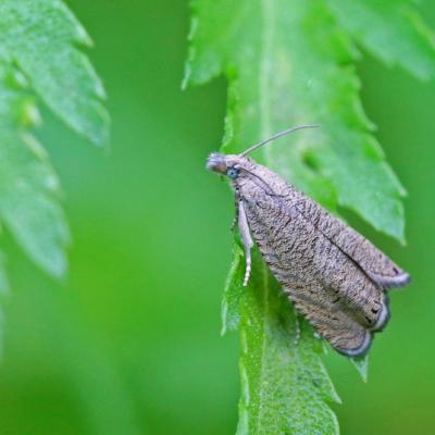 Tordeuse (Dichrorampha aeratana/plumbana)