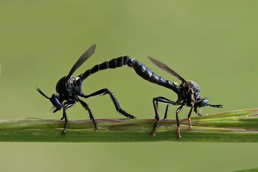 Asile  Dioctrie à poils noirs (Dioctria atricapilla) couple.