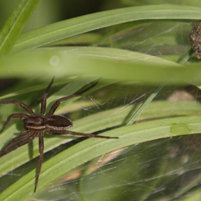 Dolomèdes (Dolomedes fimbriatus) près de son nid.