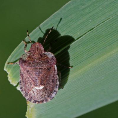 (Dyroderes umbraculatus)