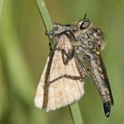Asile (Dysmachus fusicipennis)