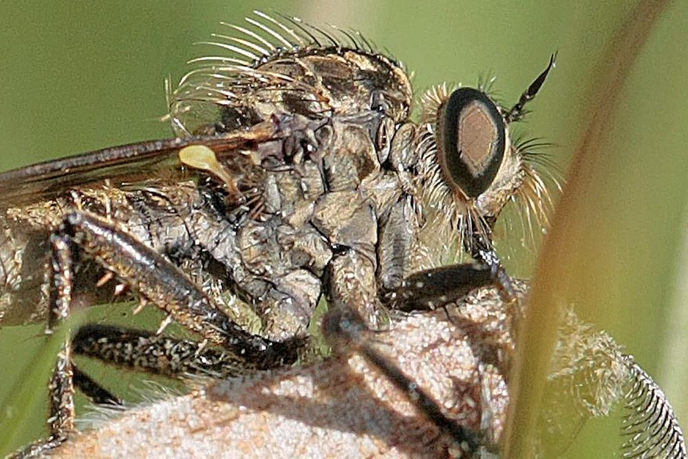 Asile (Dysmachus fuscipennis)