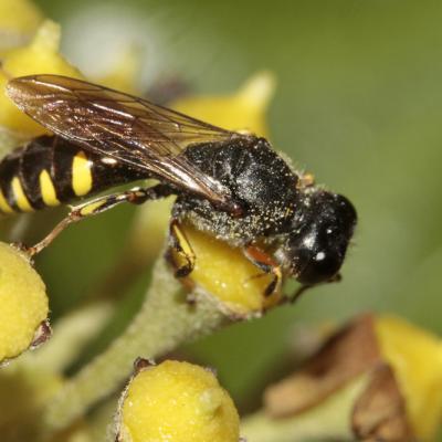 Ectemnius ruficornis