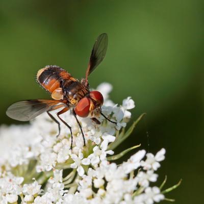 Tachinaire Phasie crassipenne (Ectophasia crassipennis) femelle