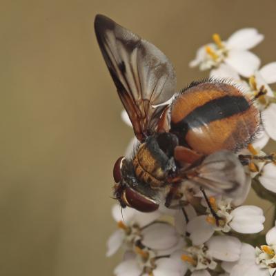 Tachinaire Phasie crassipenne (Ectophasia crassipennis)