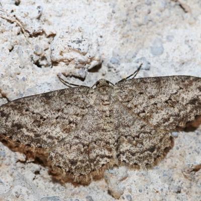Boarmie crépusculaire (Ectropis crepuscularia)