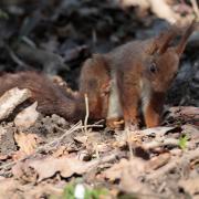 Ecureuil roux (Sciurus vulgaris)