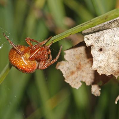 Epeire alsine (Araneus alsine)