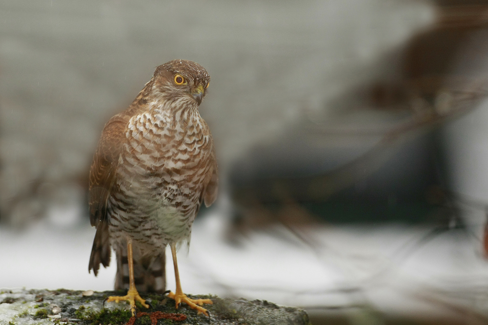 Epervier d'Europe (Accipiter nisus) immature.