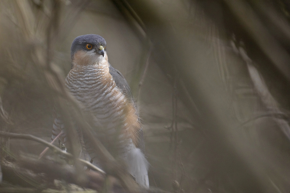 Epervier d'Europe (Accipiter nisus) mâle