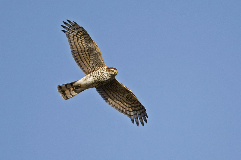 Epervier d'Europe (Accipiter nisus).
