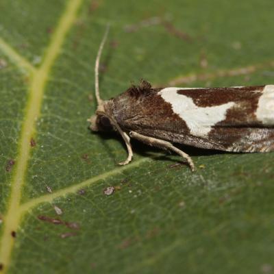 La Tordeuse du foin (Epiblema foenella)