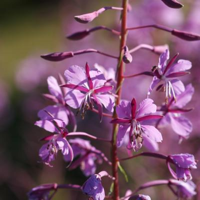 Epilobe en épis  (Epilobium augustifolium)
