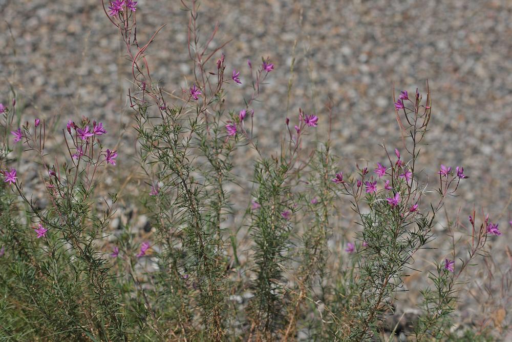 Epilobe à feuilles de romarin (Epilobium dodonaei)