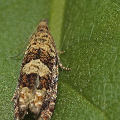 Epinotia tetraquetrana