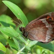 Le Moiré sylvicole (Erebia aethiops)
