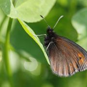 Le Moiré de la canche (Erebia  epiphron)