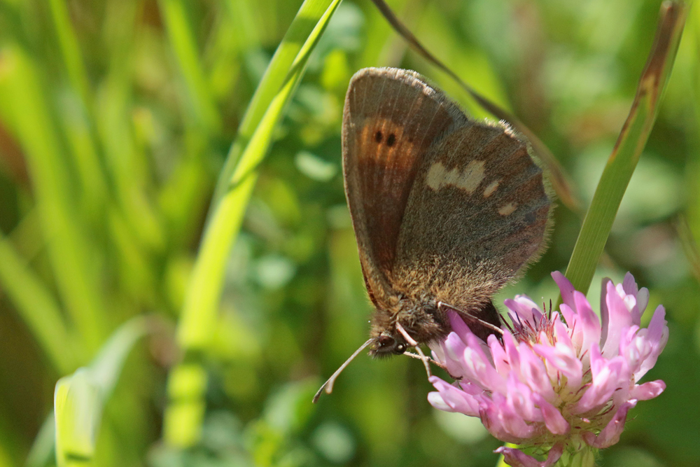 Le Moiré variable (Erebia manto)
