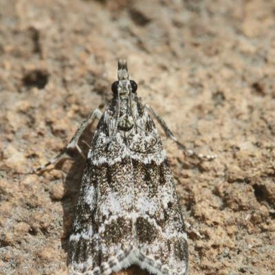 L'Eudonie commune (Eudonia mercurella)
