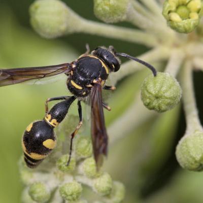 Guèpe  potière  (Eumènes sp.)