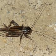 Grillon bordelais (Eumodicogryllus burdigalensis)