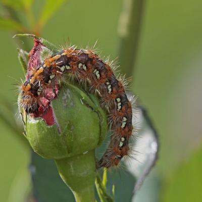 L'Ecaille chinée (Euplagia quadripunctaria)