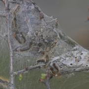 Le Bombyx cul brun (Euproctis chrysorrhoea)