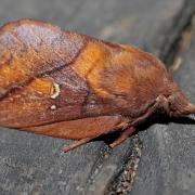 Le Bombyx buveur (Euthrix potatoria)