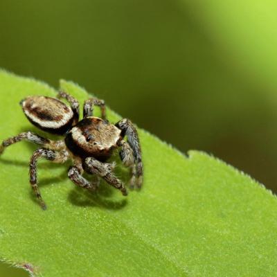 Saltique entourée (Evarcha falcata) mâle
