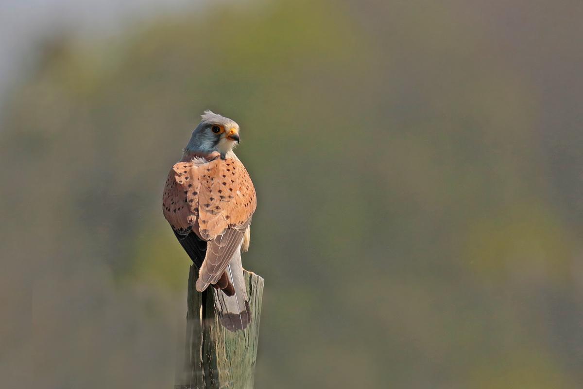 Faucon crécerelle (Falco tinnunculus) mâle