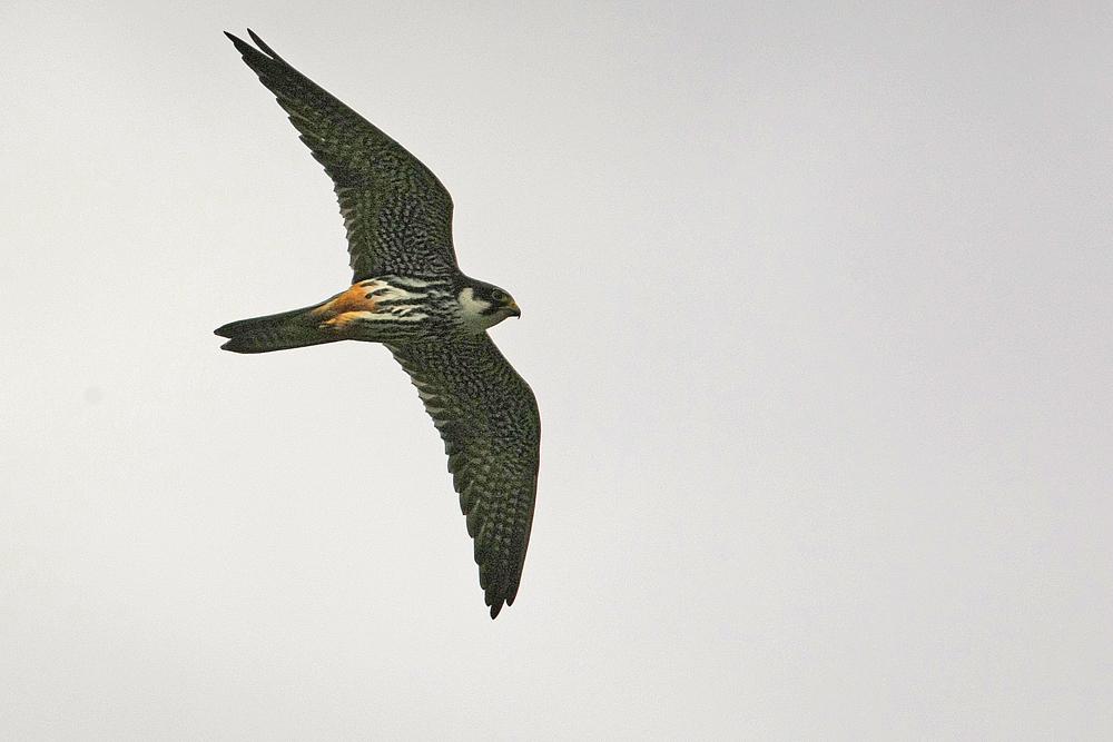 Faucon hobereau  (Falco vespertinus)