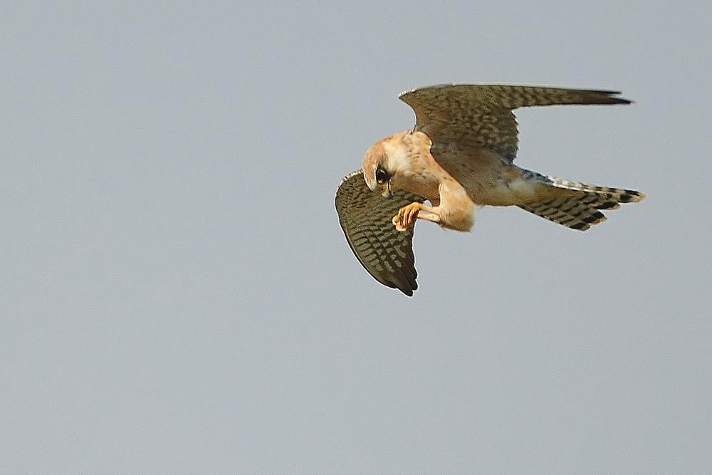 Faucon kobez (Falco vespertinus) femelle