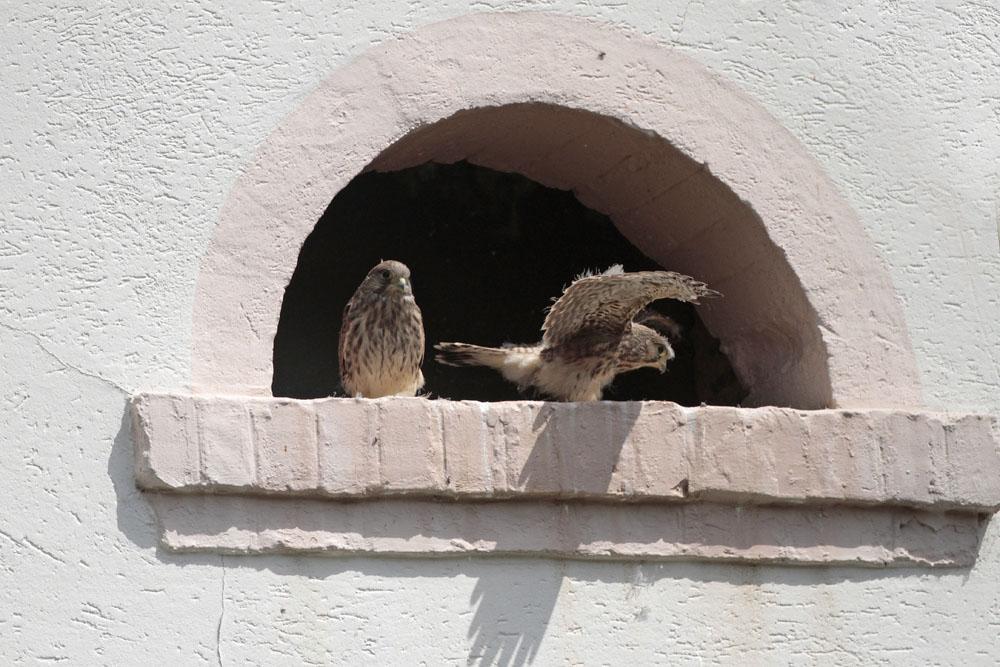 Faucon crécerelle (Falco tinnunculus) jeunes.