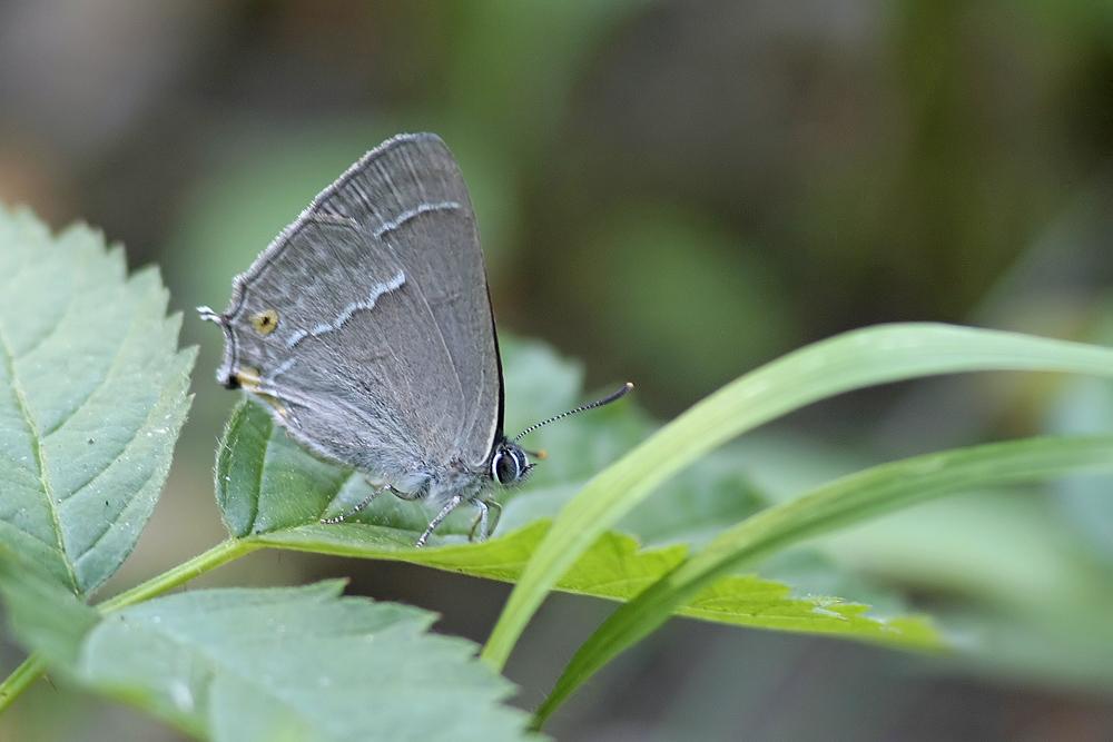 Le Thecla du chêne (Favonius quercus)