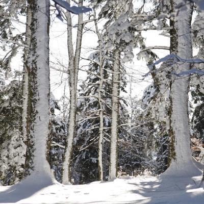Forêt dans la neige .