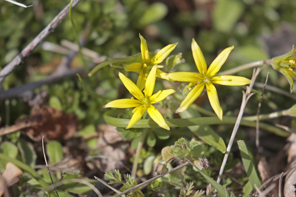 Gagée jaune (Gagea lutea)