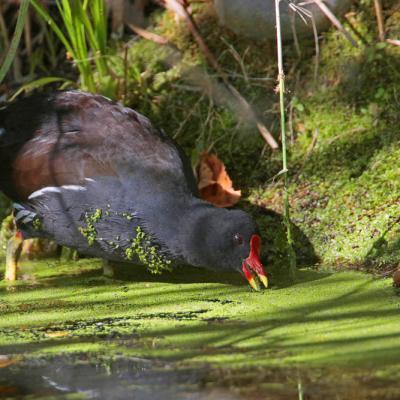 Gallinule poule d'eau (Gallinula chloropus)