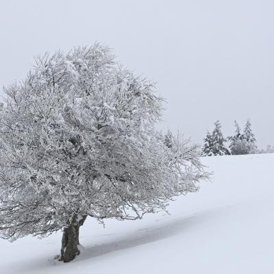 Un hêtre en hiver.