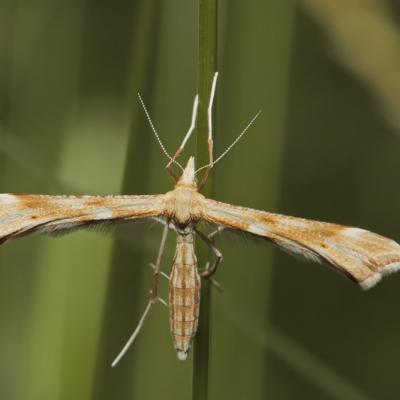 Ptérophores (Pterophoridae)