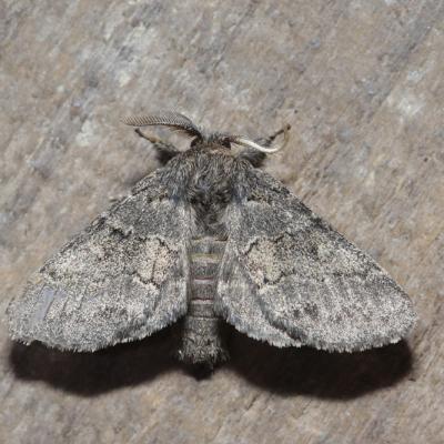 La Crénelée (Gluphisia crenata)