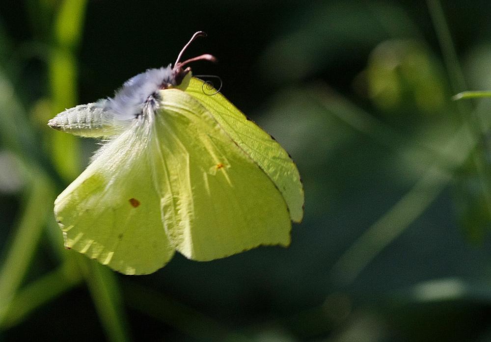 Le Citron (Gonopteryx rhamni)