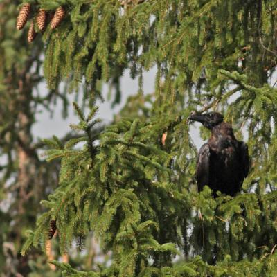 Grand corbeau  (Corvus corax) jeune