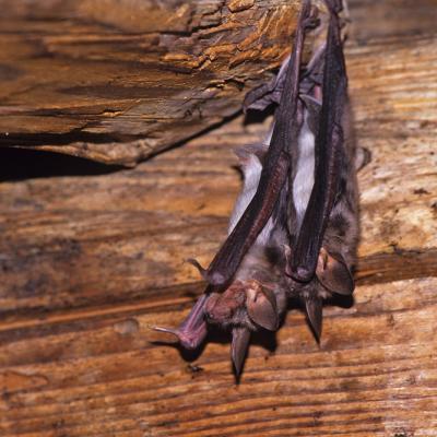 Grand murin (Myotis myotis)