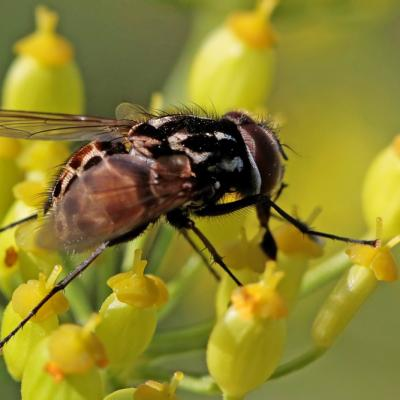 Graphomyie tacheté (Graphomya maculata)