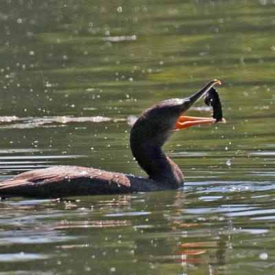 Grand Cormoran  (Phalacrocorax carbo)