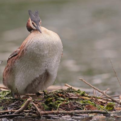 Grèbe huppé  (Podiceps cristatus)