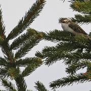 Grimpereau des bois  (Certhia familiaris)