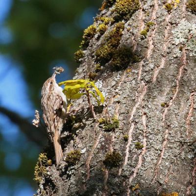 Grimpereau des jardins (Certhia brachydactyla)