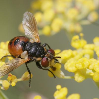Tachinaire  (Gymnosoma sp.)